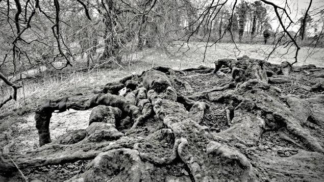 Avebury Stone Circle Wiltshire Beech tree roots